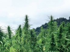 cannabis crop